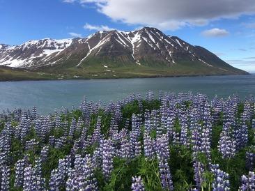 fiori islanda vergari