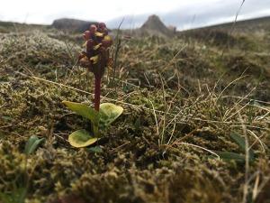 orchidea islanda